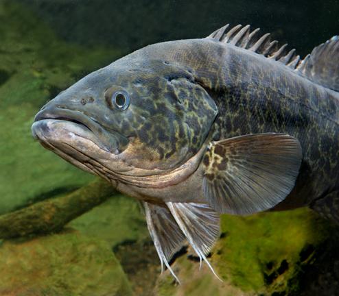 Mary River Cod (Maccullochella mariensis)