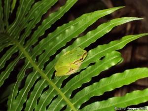Cascade treefrog (Litoria pearsoniana)