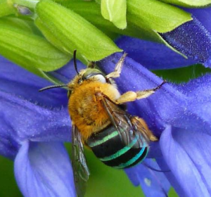 Blue-banded solitary bee