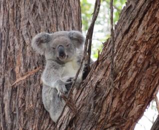 Koalas in the Gympie region