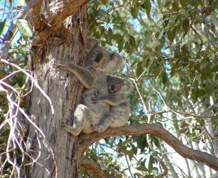 September is Save the Koala month