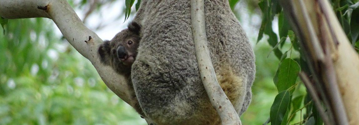 Wild Koala Day – Wednesday 3rd May 2017